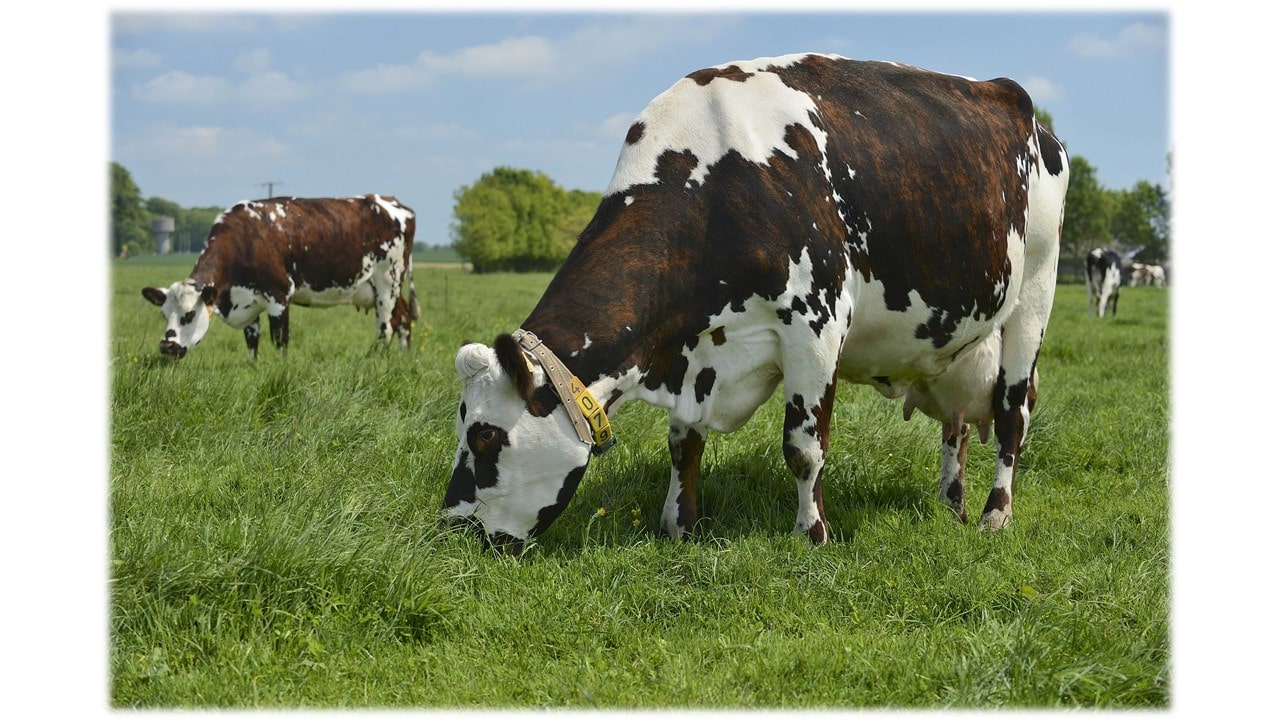 vaches normandes yara france