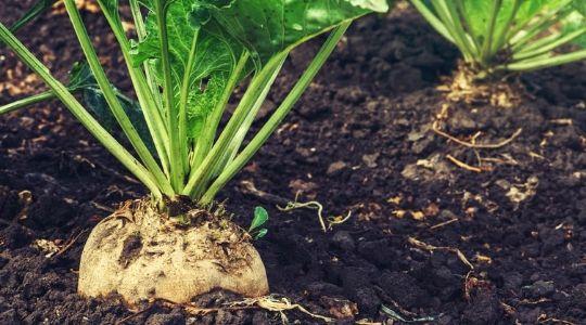 Betterave sucrière : les fondamentaux de la fertilisation | Yara ...